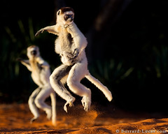 Jumping Sifakas (Will Burrard-Lucas   Wildlife) Tags: jumping dancing lemur madagascar berenty sifaka verreauxssifaka viaflickrqcom