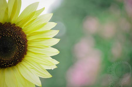 Sunflower w pink bokeh