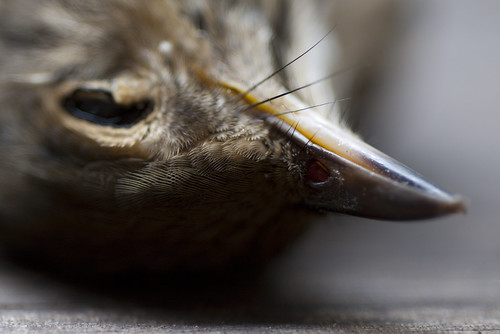 September Swainson's Thrush V