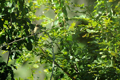 September, 2010 (BeautifulRust) Tags: wood trees sunlight green bird nature leaves yellow poem babies sweet olive pale september memory balance roadside common habitat juvenile warbler lowell songbird yellowthroat glittering brushy weedy geothlypistrichas