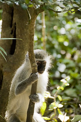 Vervet Monkey (cquigley) Tags: africa face animal closeup southafrica monkey hands sitting african wildlife august za gardenroute 2010 westerncape vervetmonkey monkeyland thecrags