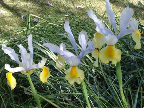 Rouchel irises