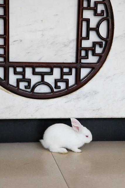 Little white rabbit, Yangshuo, Guangxi, China