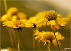 Yellow II (~Cess~) Tags: flower fleur doublefantasy