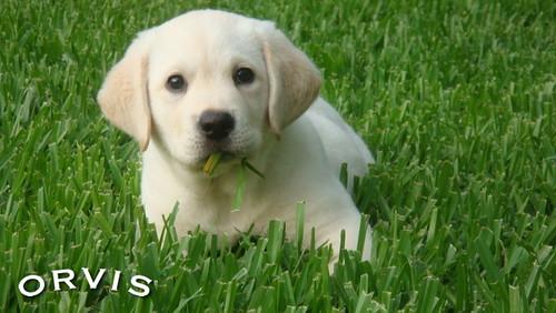 Orvis Cover Dog Contest - Gunner