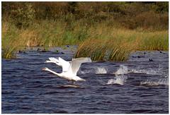 Zwanen (NLHank) Tags: holland nature water netherlands dutch swan nederland natuur olympus swans e3 zuiko riet wanneperveen overijssel waterbirds giethoorn natuurmonumenten zwaan zwanen watervogels 50200 wiede zuideindiger