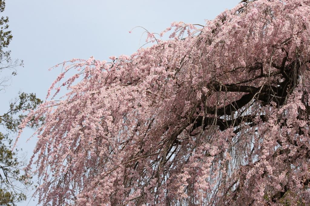 Sakura tour in Yamanashi (5)