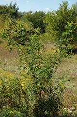 "Locust Tree <a style=""margin-left:10px; font-size:0.8em;"" href=""http://www.flickr.com/photos/91915217@N00/4997783912/"" target=""_blank"">@flickr</a>"
