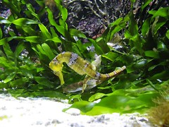 Seahorse_8803 by sgsprzem, on Flickr