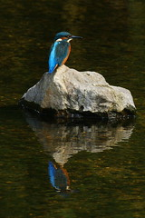 DSC03130 - Kingfisher (steve R J) Tags: birds explore valley kingfisher british roding nbw