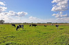 Hollands landschap met koeien - Dutch landscape with cows (RuudMorijn-NL) Tags: blue sky green colors dutch azul clouds cores landscape weide colorful groen cows couleurs himmel wolken paisaje paisagem céu colores bleu pasto ciel pasture cielo nubes nuvens lucht nuages wei landschaft blauwe grazing hollands kühe vacas landschap farben vaches langit padang koeien kleurrijk coloré weiden hollandais colorido kleuren coloridas blauen bunten منظر oudeweg lagezwaluwe holandés drimmelen pastando lanskap الغيوم holandês ألوان السماء pâturages paysagiste الزرقاء المراعي رعي holländischen berwarnawarni زاهية الأبقار الهولندية голландскийпейзажкоровы пасущиесяпастбищголубоенебооблакакрасочныхцветов