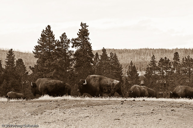 Bison near Old Faithful