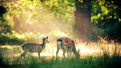 the clearing (andrew evans.) Tags: lighting morning trees light summer england sun mist nature misty fog fairytale forest sunrise golden countryside kent woods nikon bokeh wildlife deer explore ethereal rays wonderland storybook magical frontpage 70200 f28 enchanted d3