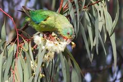 Swift Parrot (0ystercatcher) Tags: bird australia canberra act tuggeranong swiftparrot lathamusdiscolor geo:country=australia taxonomy:binomial=lathamusdiscolor taxonomy:common=swiftparrot