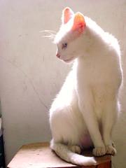 Poser. (c_imagine) Tags: cat pose poser gato felino whitecat gatobranco