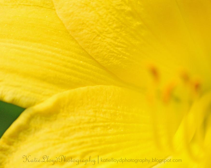 Day-Lily-2---wm