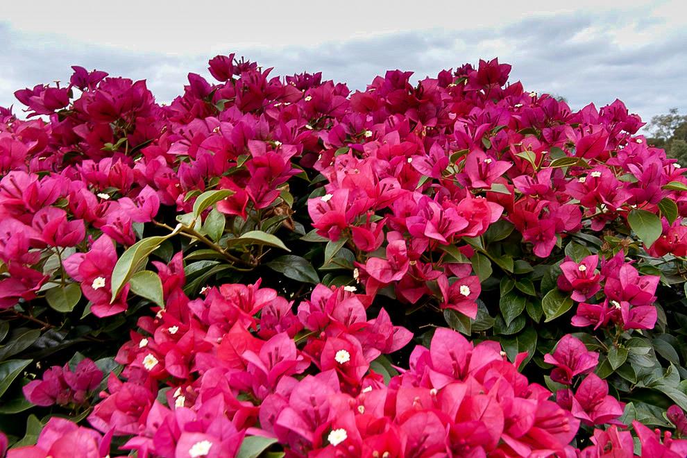 Jardineria totalmente florecida en la Iglesia de Areguá, nos deleitan la vista con sus vivos colores rojo y rosa. (Tetsu Espósito - Areguá, Paraguay)