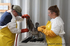 Bird Rehabilitation specialists Michelle Bellizzi, (orange gloves) of Fairfield, Ca., and Crisa Lander, of San Pedro, Ca. (yellow gloves) with IBRRC rinsing an oiled juvenile brown pelican