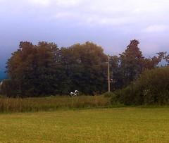 CIMG4116 Take off (pinktigger) Tags: italy bird nature birds italia storks friuli fagagna cicogne friul oasideiquadris feagne