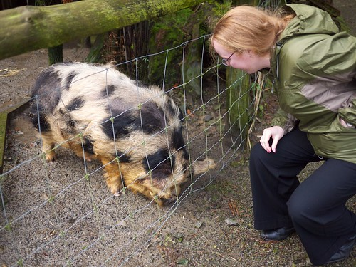 Flick feeding the Kune Kune pig, in Staglands nature reserve