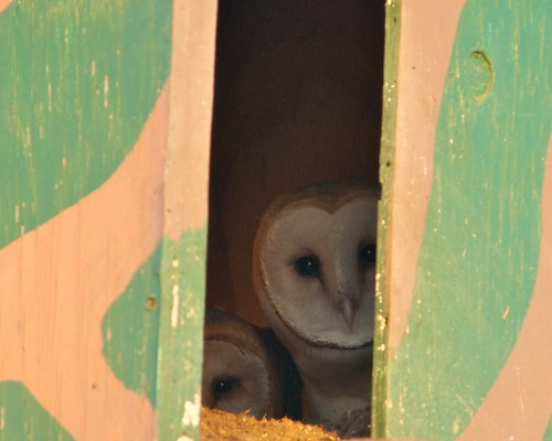 Two barn owls