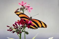 A perfect moment of butterfly nirvana (Matthew P Sharp) Tags: macro calgary canon butterfly alberta 7d calgaryzoo llens
