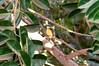 Bentivi (CEGH) Tags: brazil bird brasil nikon pássaro nikkor 70300mm vr d90 pitangus sulphuratus bentivi