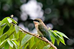 Bee Eater (QooL / بنت شمس الدين) Tags: bird kualalumpur beeeater qool qoolens