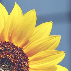 sunflower [Explored OMGOSH my first one :D] (Shandi-lee) Tags: brown sun flower macro green fall yellow grey petals sunflower pollen