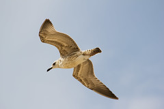 Young Yellow-legged Gull in Flight (Itai Shen) Tags: sky seagulls fish bird water pool birds israel flying seagull gull gulls watching young birdwatching larus birdwatch laruscachinnans yellowlegged cachinnans maaganmichael