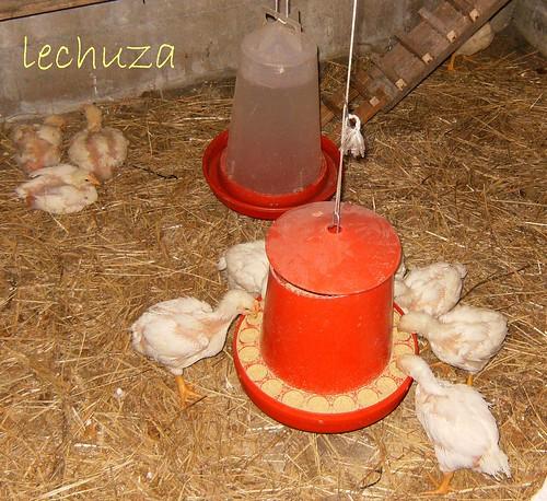 Pollitos comiendo