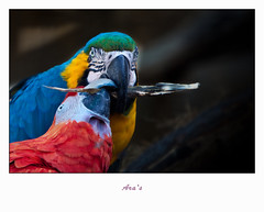 Blijdorp-5767 (Arie van Tilborg) Tags: zoo rotterdam blijdorp ara dierentuin papegaai diergaarde rotterdamzoo arievantilborg