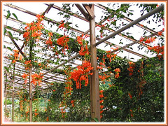 Pyrostegia venusta (Flame Vine, Flaming Trumpet, Orange Trumpet Vine/Creeper, Golden Shower) draped over a pergola in Cameron Highlands