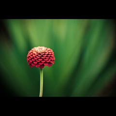 No Excuses (Front Page) (Danny Yao) Tags: red flower green chains nikon bokeh alice no danny yao 105mm d80