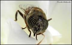 macro fly -     (moshek70) Tags: macro israel fly eyes jerusalem insects         olympussp590uz