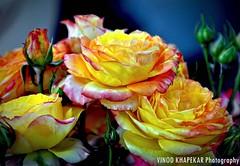 Flower....Rose golden. (Vinod Khapekar) Tags: 90 18200mm