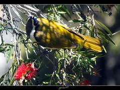 Bottlebrush Visitors #1 (gecko47 (Now a Brisbane-ite)) Tags: bird native queensland bluefacedhoneyeater honeyeater entomyzoncyanotis bottlebrush townsville callistemon bananabird suburbangarden