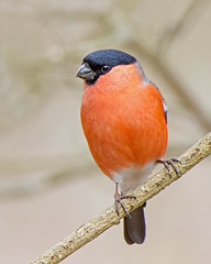 Bullfinch (Andrew Haynes Wildlife Images ( away for a while )) Tags: bird nature wildlife coventry bullfinch warwickshire brandonmarsh canon7d ajh2008