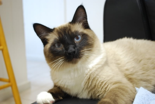 cute cat siamese