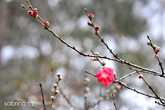 Cherry Blossom 1 (sab.cp) Tags: pink flower cherry