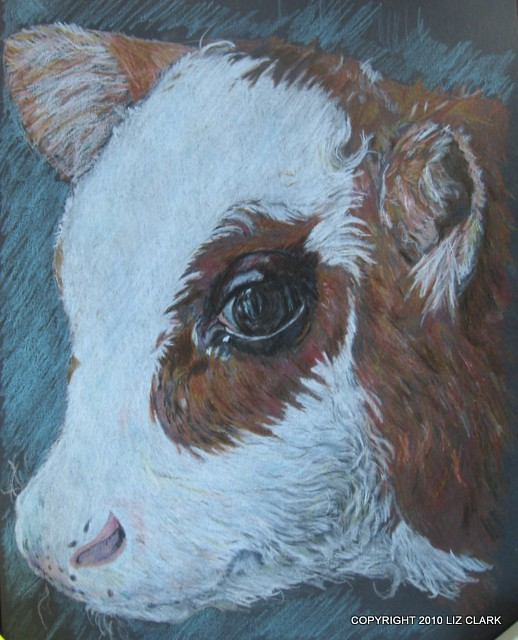 Portrait of a Beef Cross Calf