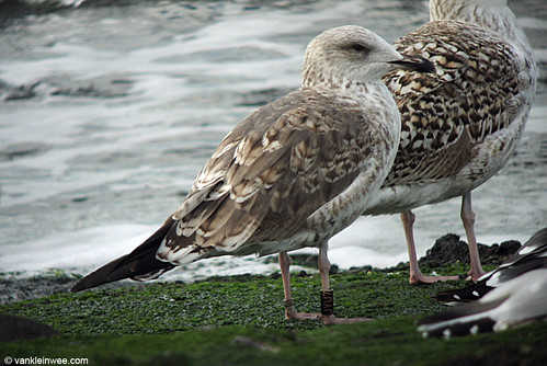 Nordic Lesser Black-backed Gull, adult, Bk[JYU7]