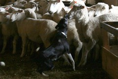 Beth grips (BCxFour) Tags: collie sheep border working gripping