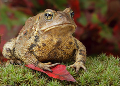 American Toad (p.curcis) Tags: toad americantoad