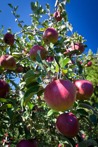 結實纍纍的福壽山農場蘋果