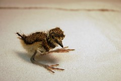 Killdeer Chick (Feeeonaah!) Tags: old project san killdeer wildlife diego chick orphan hour newborn plover rehab hatched vociferus charadrius