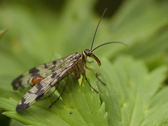 Scorpionfly (♂)