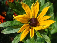 Gold Star (Gartenzauber) Tags: flower macro nature yellow sony natur gelb blume sonnenhut floralfantasy kartpostal masterphotos perfectpetals qualitygold mamasbloomers