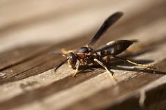 "Hornet with sand • <a style=""font-size:0.8em;"" href=""http://www.flickr.com/photos/30765416@N06/5056544209/"" target=""_blank"">View on Flickr</a>"