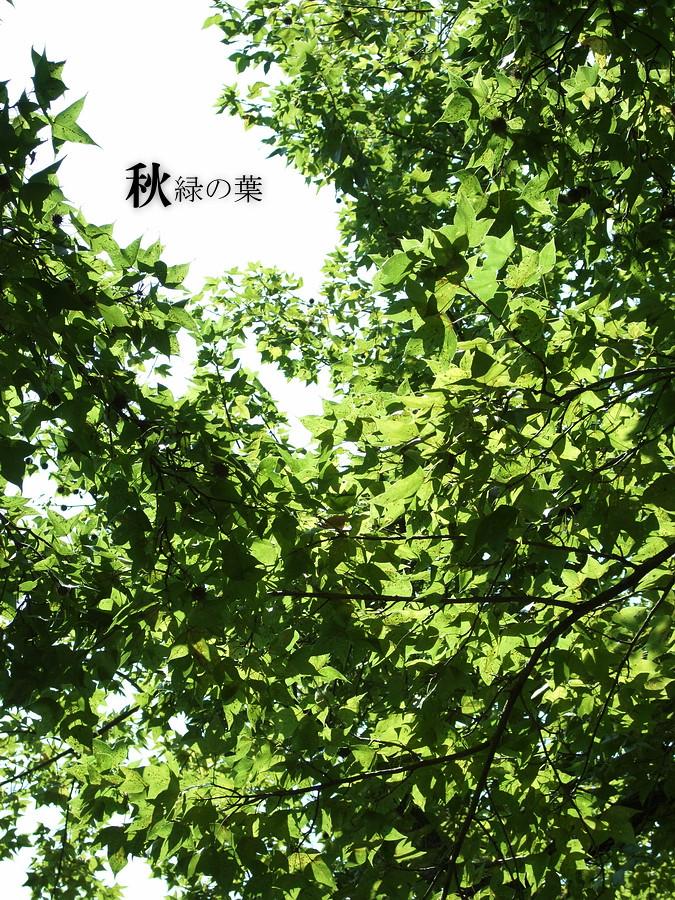 ( 秋 之 綠 葉 )